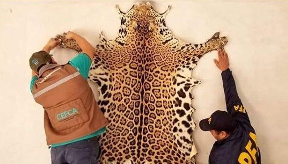 Salta: decomisaron el cuero de un yaguareté que fue cazado y era exhibido en un hostal