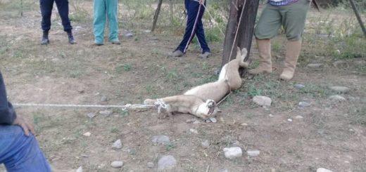 Salta: rescataron a un puma que estaba atado en el fondo de una vivienda
