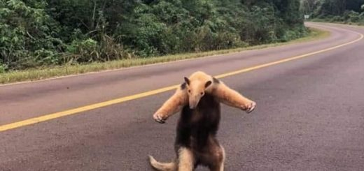 Divertida fotografía de un oso hormiguero hace furor en Facebook