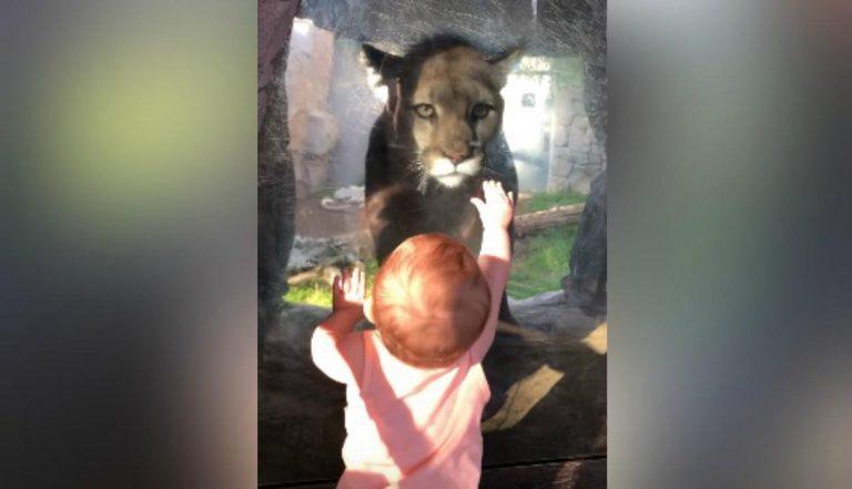 Viral: sorprendente encuentro entre un bebé y un puma