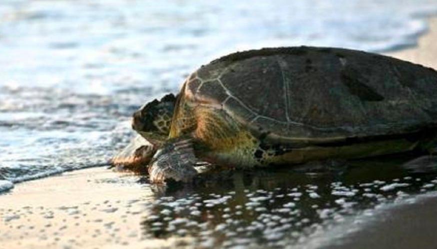 Una tortuga rescatada en San Clemente expulsó gran cantidad de basura de su cuerpo