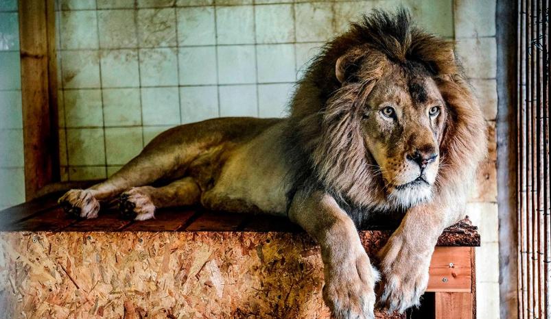 Un león le arrancó el cuero cabelludo a una nena de cuatro años en una granja de Sudáfrica