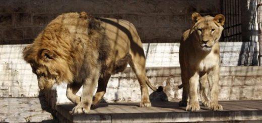 Con el traslado de los últimos dos leones, cerró el zoo de Santiago del Estero tras 42 años de exhibir animales en cautiverio