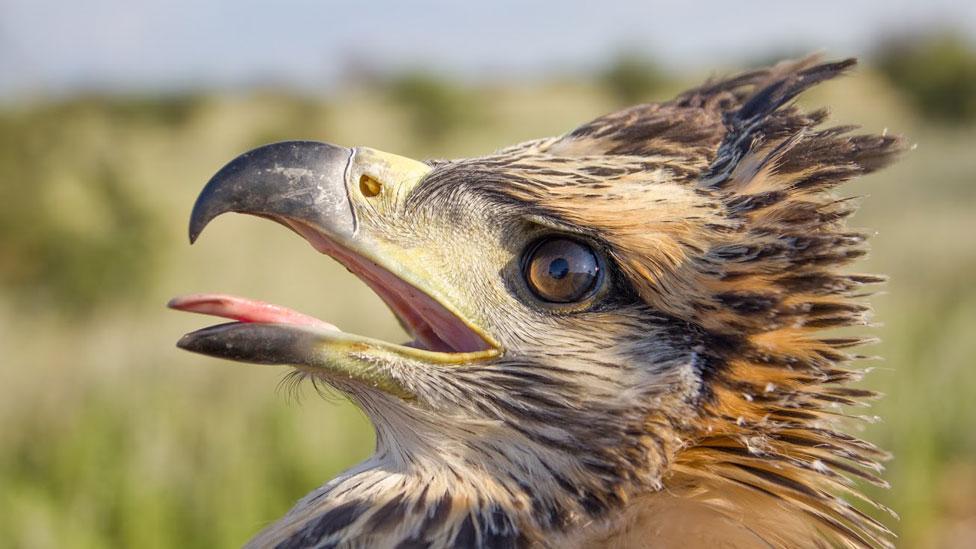 El científico argentino que dedica su vida para proteger a una de las águilas más misteriosas de Sudamérica