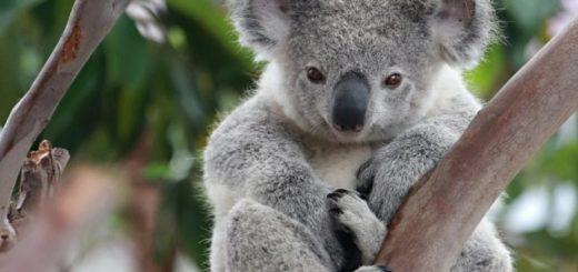 """Una ONG aseguró que los koalas están """"funcionalmente"""" extintos"""