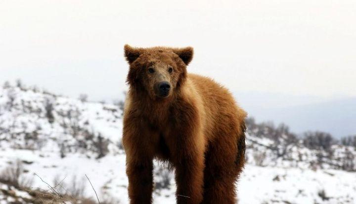 Desgarrador video: apedrean a un oso hasta hacerlo caer de una montaña