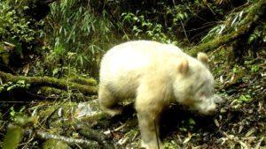 Histórico: avistan por primera vez un panda albino en una reserva de China