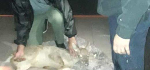 Un venado herido fue rescatado en Posadas