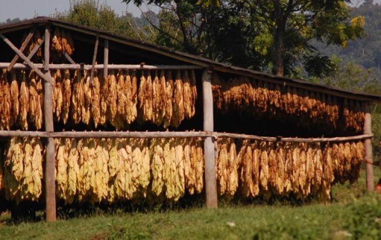 Mañana pagarán más de 80 millones de pesos a productores tabacaleros