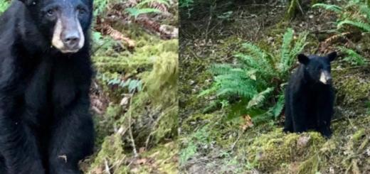 "Inexplicable: funcionarios de Oregón asesinaron a un oso porque ""se acostumbró al contacto con las personas"""