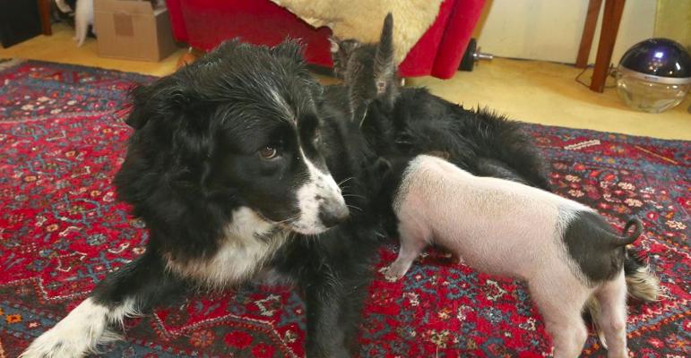 La tierna historia de Molly, la perra que le dio la teta a una lechoncita