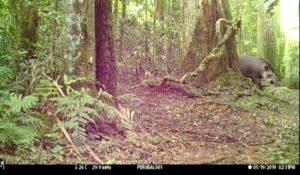 Un tapir y su cría recorren la reserva privada San Jorge, otra de las especies en peligro de extinción y monumento natural que preserva la Selva Misionera