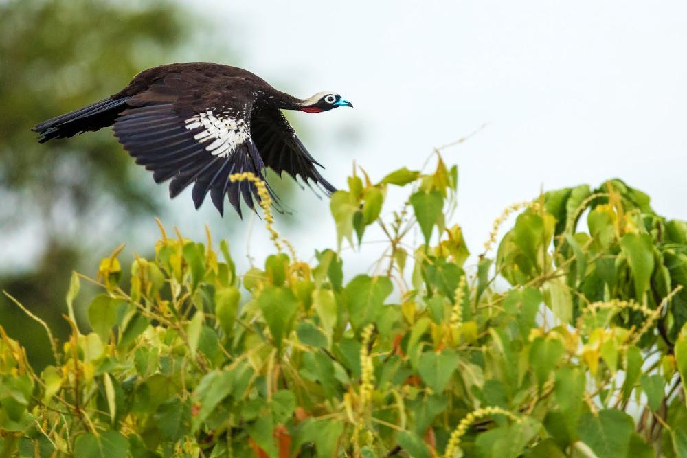 Yacutinga, la más elegante de la Selva Misionera
