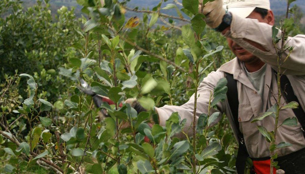 Aseguran que el «Mal de la Tela» arrasó a más de 3.000 hectáreas de cultivo de yerba en Andresito