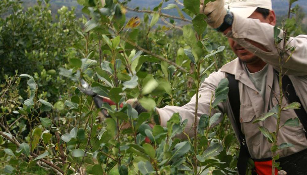 Exportaciones de Yerba mate serían beneficiadas tras acuerdos con la Unión Europea