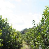 """Aseguran que el """"Mal de la Tela"""" arrasó a más de 3.000 hectáreas de cultivo de yerba en Andresito"""