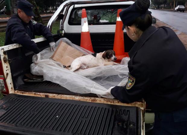 Rescate animal: policías de Alem rescataron un perro que había sido atropellado