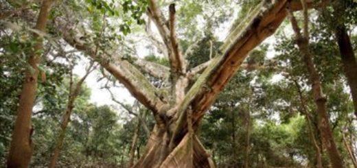 Colosos de la Tierra 2019: cinco árboles gigantes del Chaco Paraguayo compiten por el primer lugar del mayor concurso ambiental del país