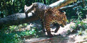 En Iguazú celebrarán el Día Provincial del Yaguareté con la nueva cifra de conservación del felino en Misiones