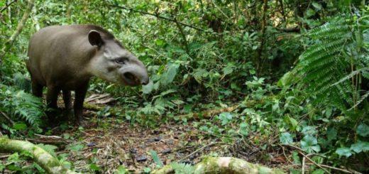 Investigación brasileña demuestra que los tapires podrían ser la clave para recuperar las selvas degradadas
