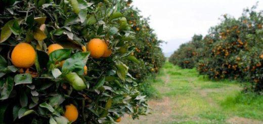 Gestionarán crédito para paliar caída de las ventas del sector citrícola