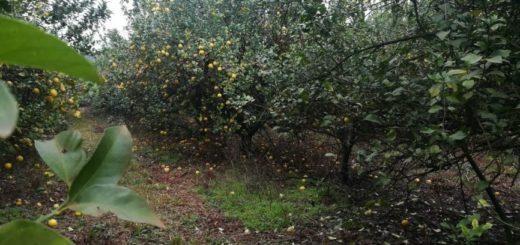 Productor denuncia una pérdida de más de 1.500 toneladas de limón ante falta de compradores