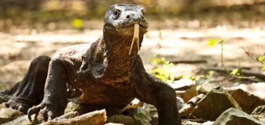 Indonesia cerrará una isla para proteger a sus dragones