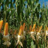 San Pedro: agricultores y ambientalistas se presentaron en jornada de Agroindustria para expresar rechazo al maíz transgénico