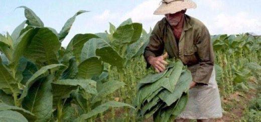 Ante menor demanda de tabaco a nivel mundial, productores afectados serán asistidos para que reconviertan su producción