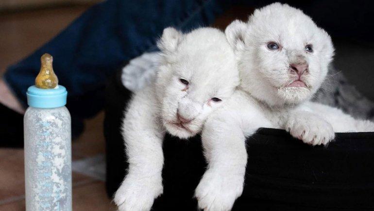 Nacieron dos cachorros de león blanco en Francia