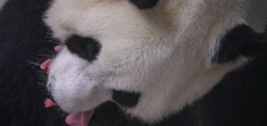 Una panda gigante dio a luz gemelos en un zoológico en Bélgica