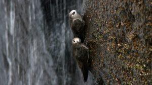 """¿Sabías que en las Cataratas del Iguazú hay un """"pájaro-murciélago""""?"""