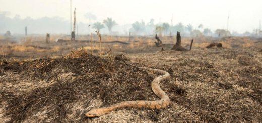 Aún no se tendrían cifras de la cantidad de animales que mueren a causa de los incendios que devoran la Amazonía