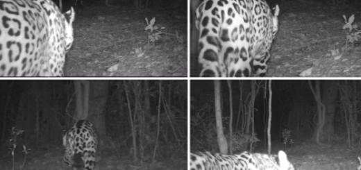 Cámaras trampas registran pareja de yaguareté en la selva misionera