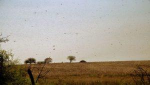 Continúa el alerta en el Norte y Centro del país por langosta sudamericana