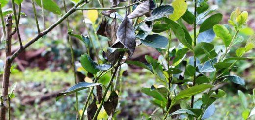 Mal de la tela: se recomienda no aplicar productos químicos en los yerbales