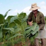 La próxima semana definirán la fecha en que se iniciará el censo de tabacaleros
