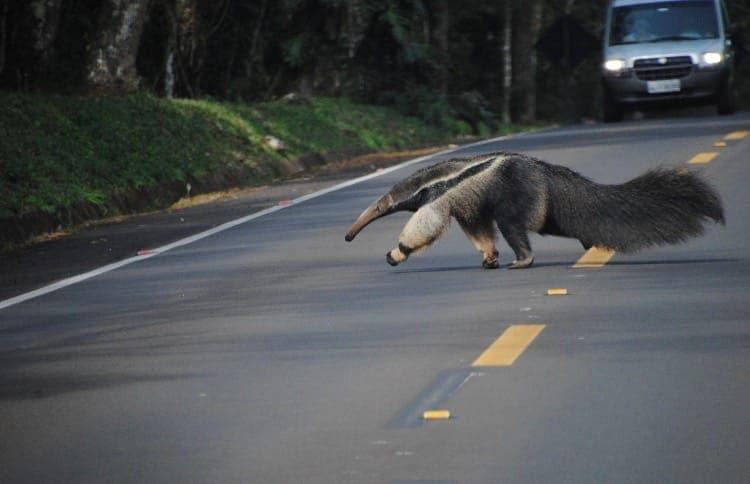 Cataratas: un oso hormiguero cruzó la calle ante la mirada atónita de los turistas