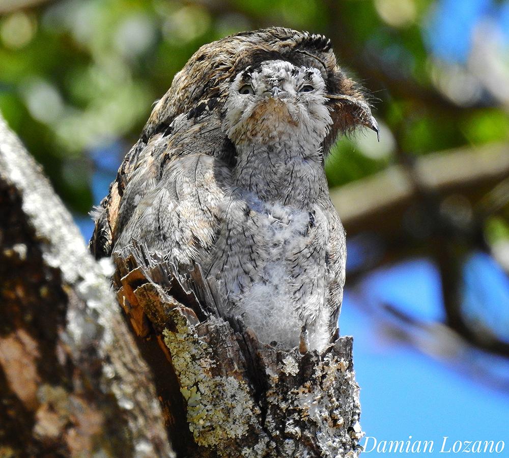Conocé al Urutaú y el misterio de su llanto que da identidad a la selva del norte argentino
