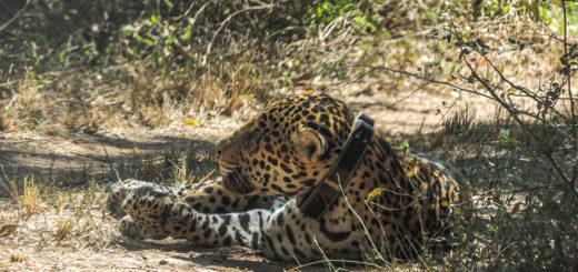 Especialistas realizarán monitoreo al fabuloso ejemplar de yaguareté que habita en el Parque Nacional El Impenetrable