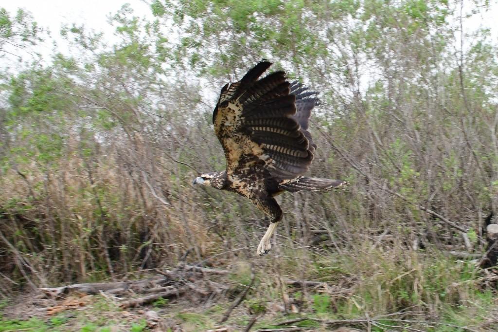 Un juvenil de águila negra fue liberadoen la Reserva Santa María de Ituzaingó
