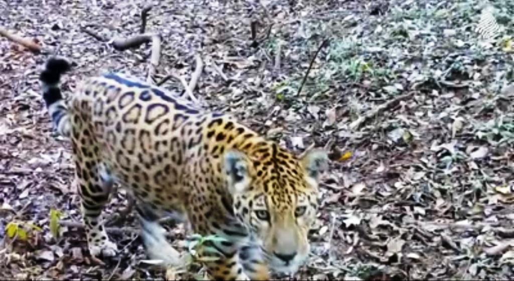 Un yaguareté se topó con una cámara de vigilancia en la selva y se puso a jugar con ella