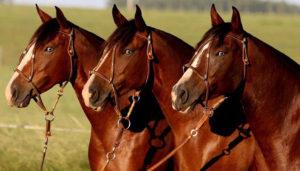 Argentina alista exportación de semen de equinos a Qatar