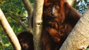 El carayá rojo que habita la Selva Misionera está entre los 25 primates más amenazados del mundo