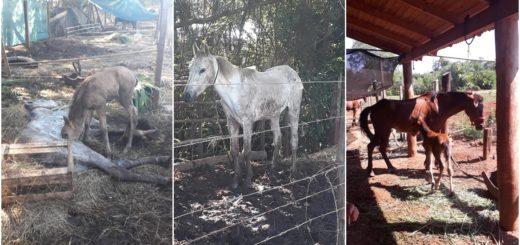 """Maltrato animal en Iguazú: el dueño de los caballos acusa a los agentes municipales de """"buscar fama"""" con la denuncia"""