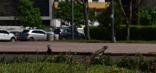 """Rescatan pichones de teros en la Costanera de Posadas: """"Cada vez hay más aves anidando en la ciudad, se recomienda a la gente no mover los huevos ni levantar los pichones"""""""