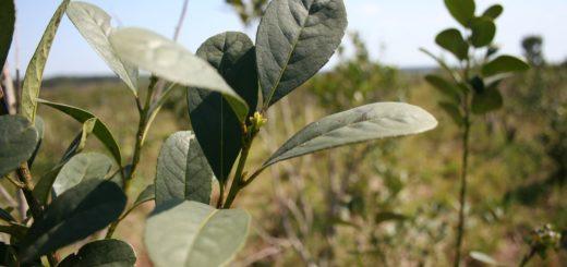 Rigen nuevos valores para hoja verde y yerba mate canchada