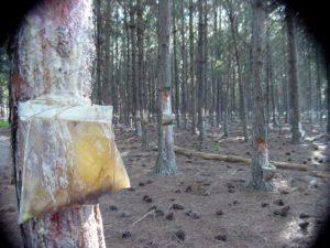 """Pequeños forestadores de Misiones podrían mejorar su rentabilidad desarrollando """"una cuenca productora de resina"""" de pino para exportación"""