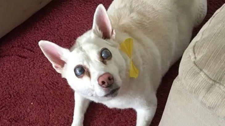 Una perra quedó ciega tras un ataque de pánico causado por los fuegos artificiales