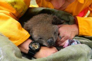 Emergencia en Australia por incendios forestales: 3 personas fallecidas, cientos de evacuados y estiman que más de 350 koalas habrían muerto bajo las llamas